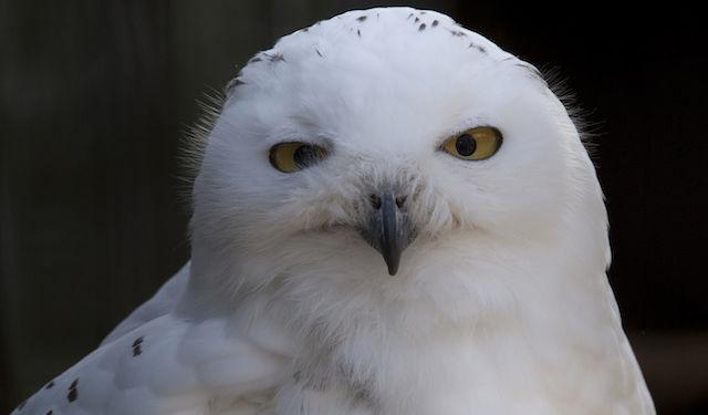 Snowy_Owl_(3937495881)