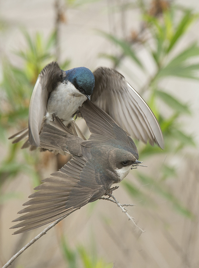 Tree Swallows, Karen Schuenemann