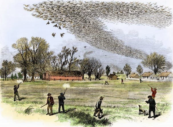 passenger pigeons_woodcut from the 1870s shows passenger pigeons being shot in Louisiana