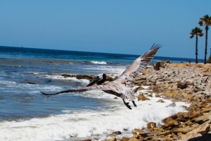 Photo of the release of Pink the Pelican