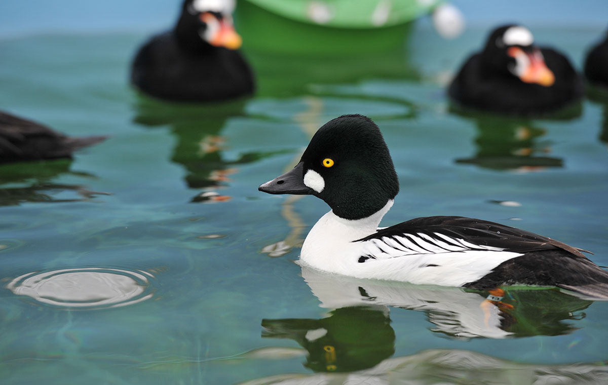 Photo of a Common Goldeneye