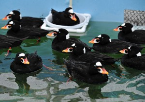 "Hundreds of Surf Scoters were among the 323 seabirds brought into care during the ""Mystery Goo"" event."