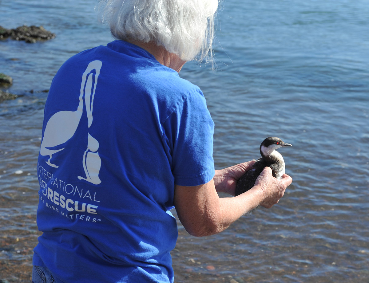 """Gummy Bear"" the gooed Horned Grebe was released on February 12."
