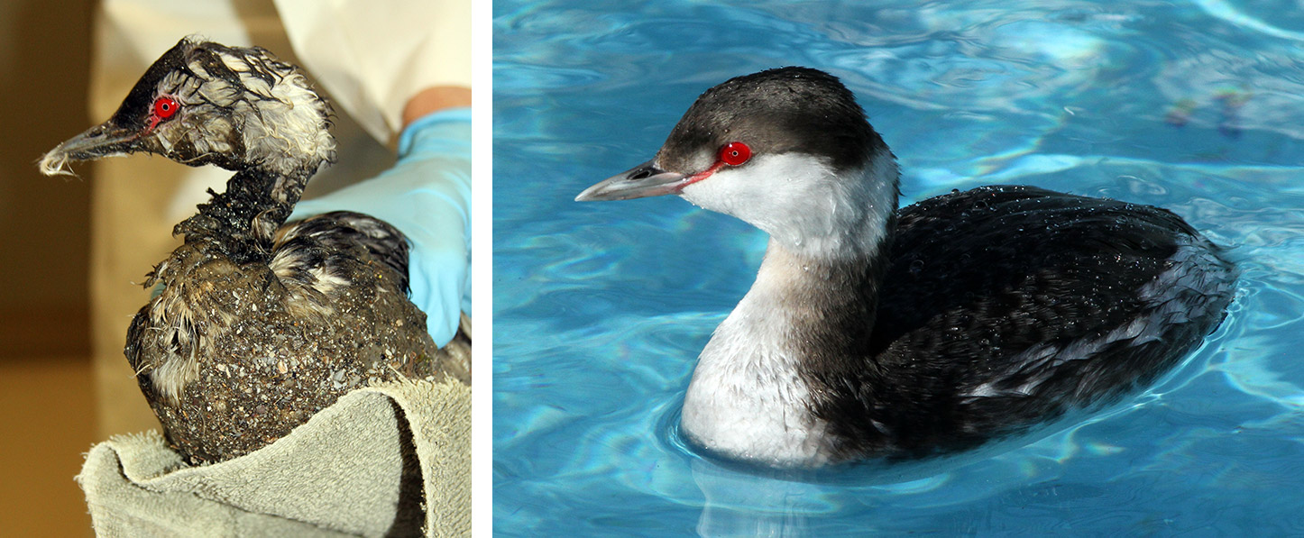 Photo Horned-Grebe-Before-After-Mystery-Goo