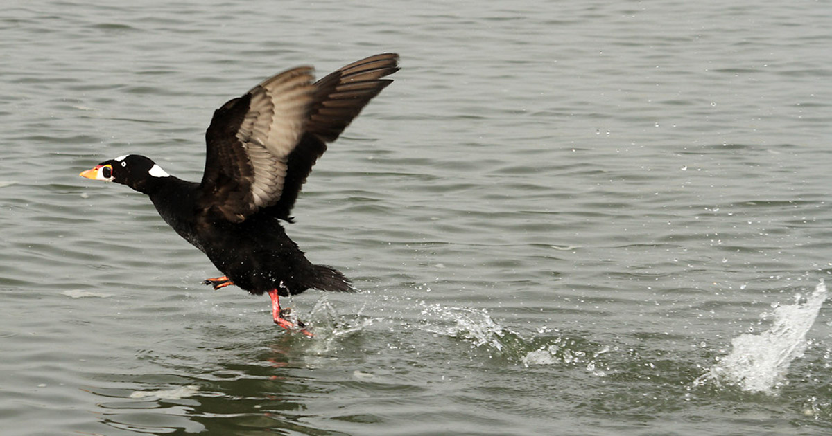 Surf-Scoter-flies-Mystery-Goo-released-1-4-15-Oakland-web