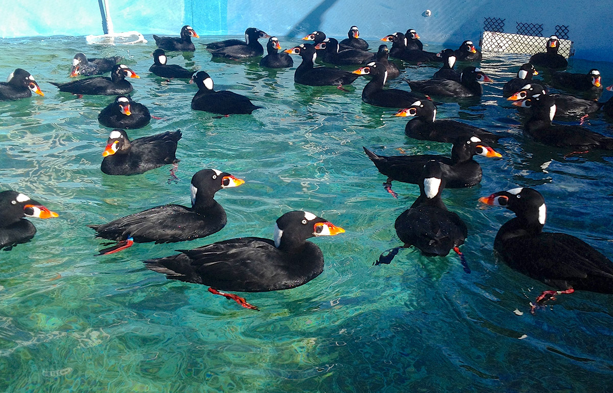 Surf-Scoters-Feb-1-in-pool-MR-1200px