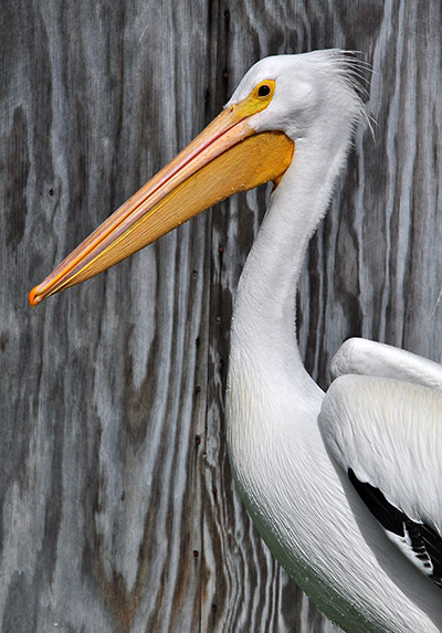 American White Pelican in care at our Los Angeles Center. Photo by  Kylie Clatterbuck