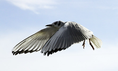 Bonaparte's Gull takes flight. Photos by Cheryl Reynolds