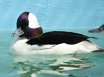Bufflehead awaits vet clearance for release. Photo by Cheryl Reynolds