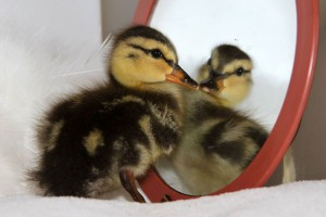 First Duckling of the Spring baby bird season. Photo by Cheryl Reynolds