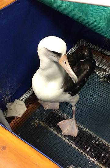 Laysan Albatross was cleaned of grease after being stuck on a container ship for at least 10 days.