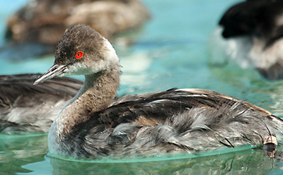 Horned Grebe recuperating in one of our pools. Photo by Cheryl Reynolds