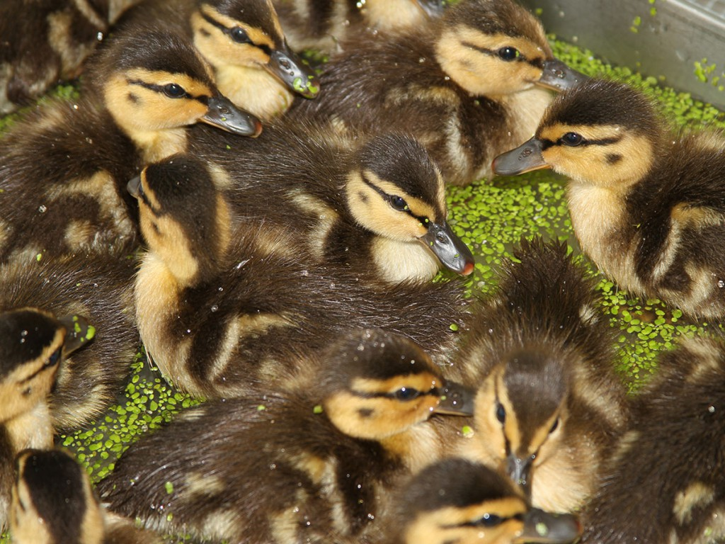 Ducklings-group-1200px