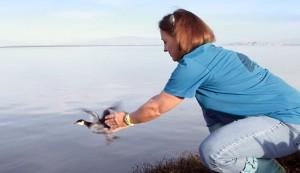 Volunteer Deborah Heritage releases a Grebe.