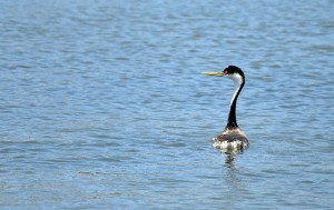 Grebe-released_0030-X3-web