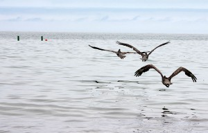 Photo of released Brown Pelicans Goleta, CA