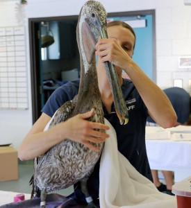 Photo of Pelican exam