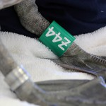 Special green Z leg bands will help researchers track Refugio spill birds.