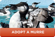 Murre-Adopt-Button