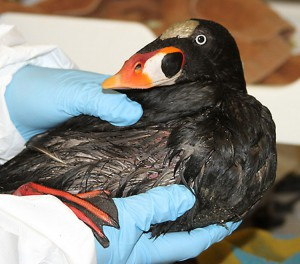 Surf Scoters comprised 70% of birds brought in for care.