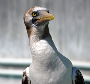 Masked Booby was flown from Portland after being found along the coast at Newport, Oregon.
