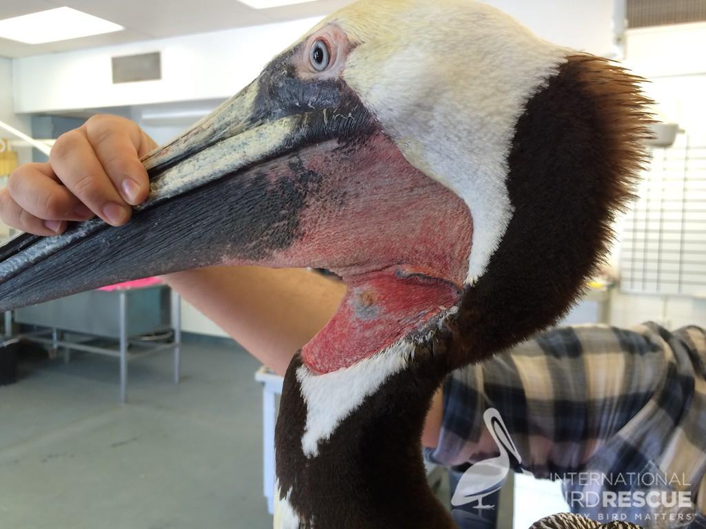 Brown Pelican N33's healed neck wound just before she was released.