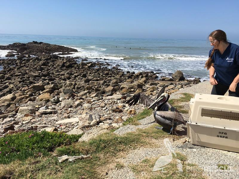 Brown Pelicans N32 and N33 about to take off after being released at White's Point.
