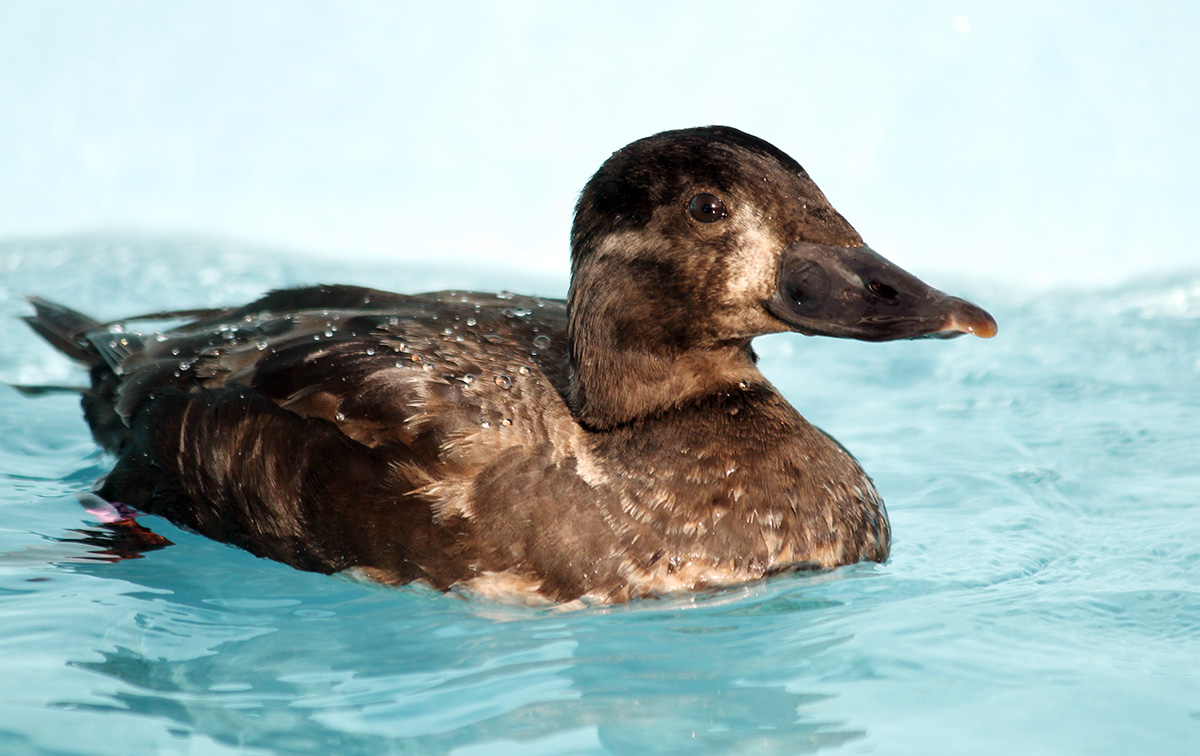 Female Surf Scoter is recuperating in the pelagic pool at our San Francisco Bay Center. Photo by Cheryl Reynolds