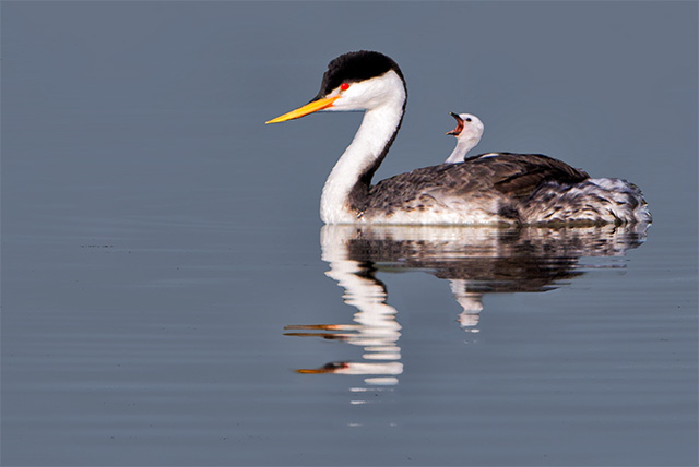 Photo of Clark's Grebe swims carrying chick on its back by Patricia Ware