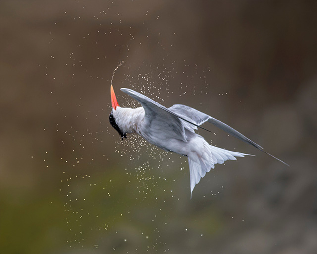 Photo of Elegant Tern in midair ballet by Patricia Ware