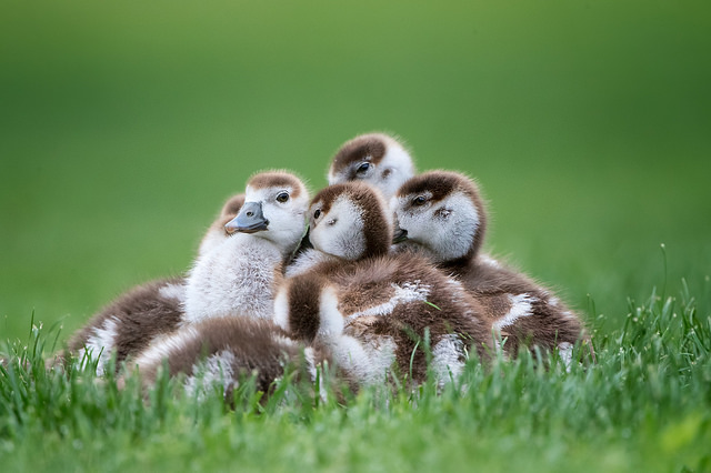 Photo of young Egyptian Geese by Patricia Ware