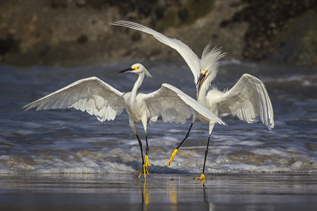 Photo of Snowy Egrets by Patricia Ware