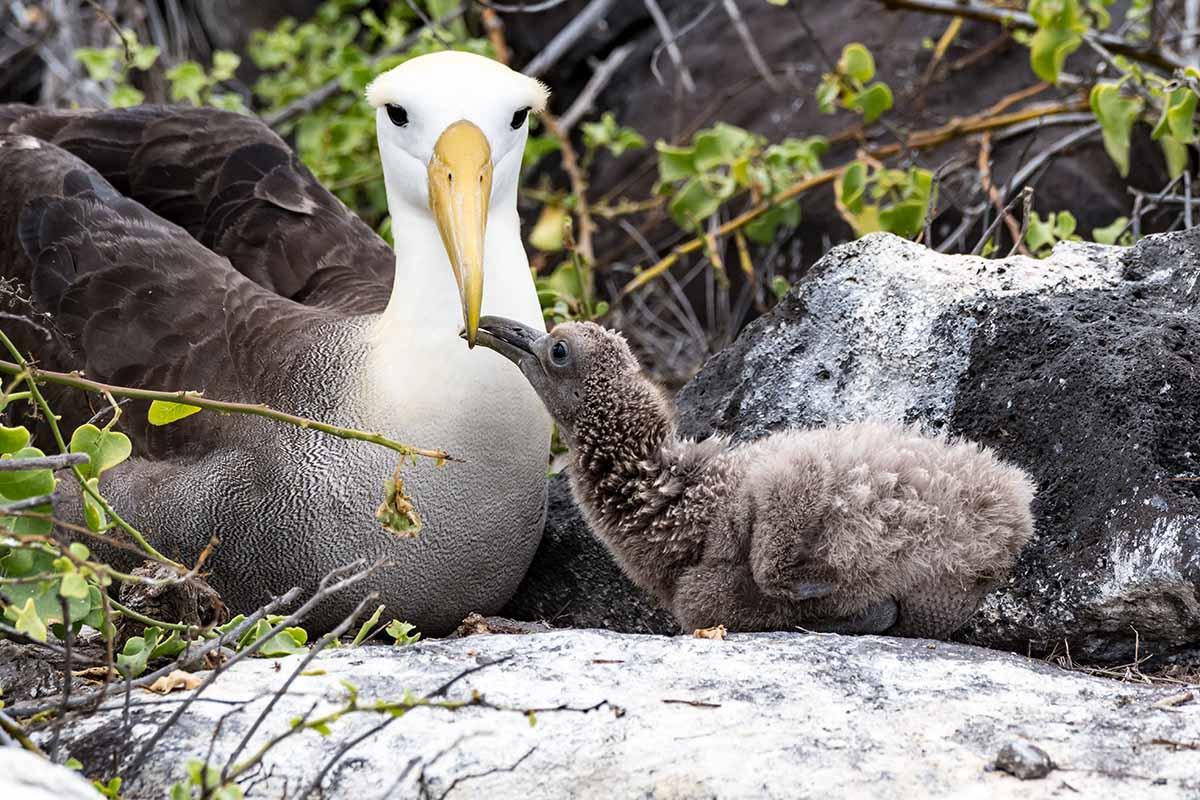 The Amazing Albatross!