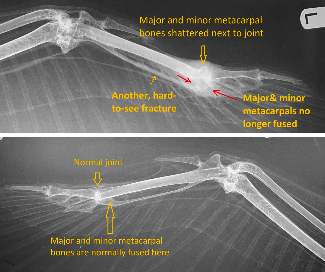 White Pelican wing tip x-ray