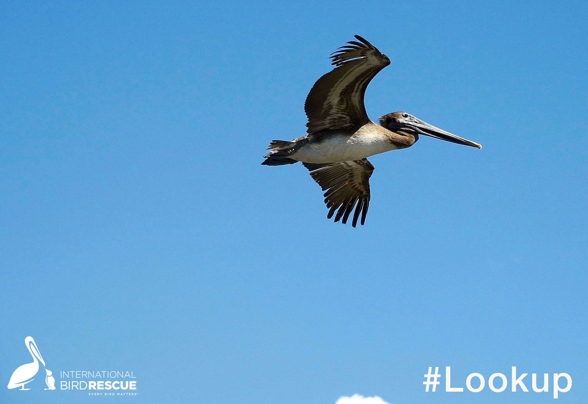 Brown Pelican in flight after release in Southern California by International Bird Rescue