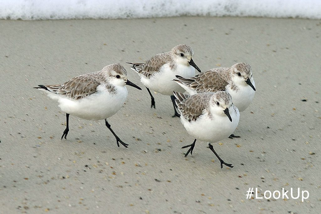 Snowy Plovers on beach