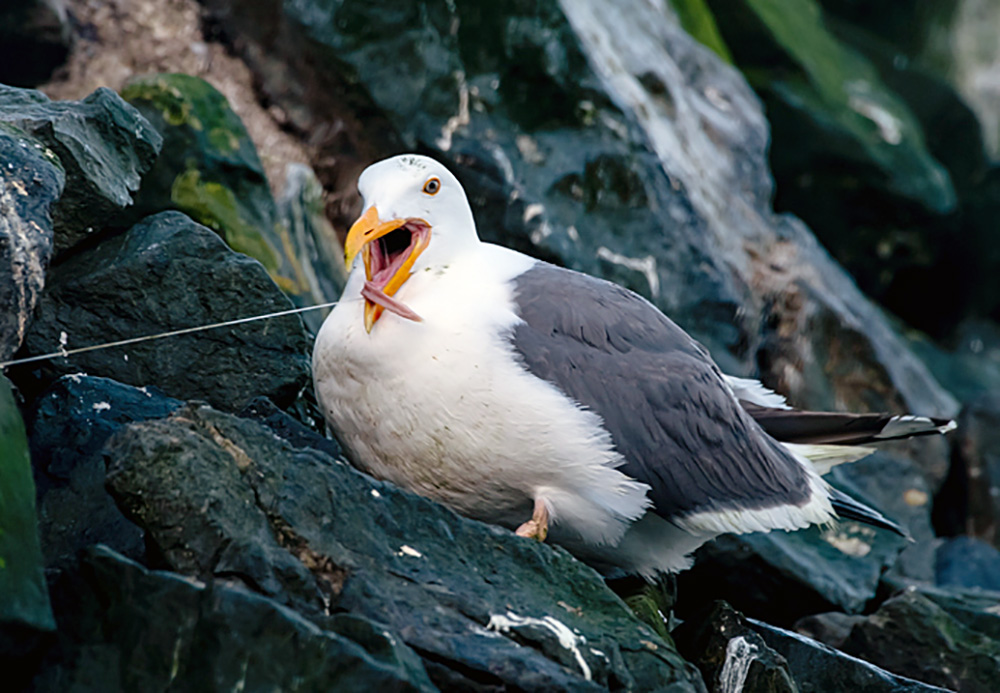 Western Gull seabird caught in fishing line