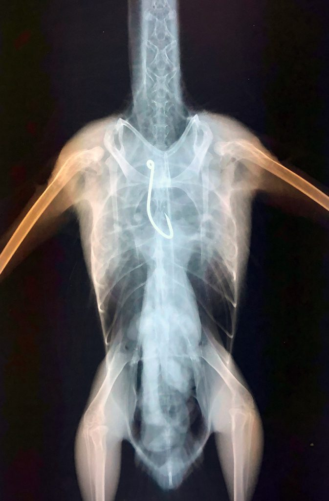 X-ray showing fish hook stuck in the Western Gull esophagus, right near the bird's heart