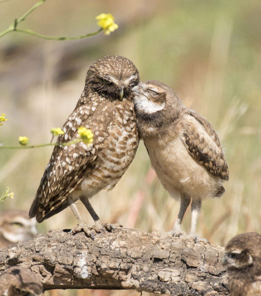 Photo of Burrowing Owls by Sandrine Biziaux-Scherson