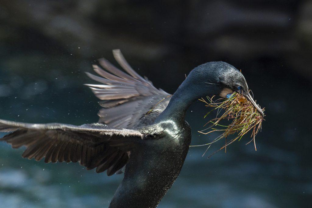 Photo of Brandt's Cormorant by Sandrine Biziaux-Scherson