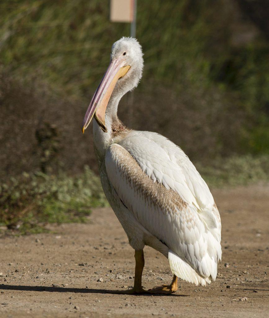 Photo of American White Pelican by Sandrine Biziaux-Scherson
