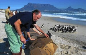 Photo of Jay Holcomb releasing cleaned penguins in 2000 after the Treasure Oil Spill in Cape Town, SA