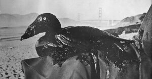 Photo of Oiled Surf Scoter rescued in 1971 spill on San Francisco Bay.