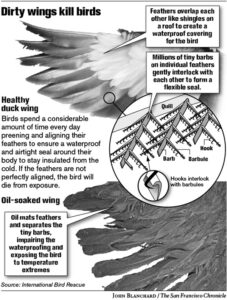 Oiled wings can kill birds.