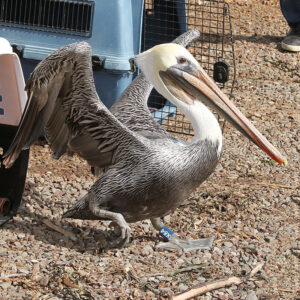 On release a California Brown Pelican (X84) is wearing a steel Federal Band and one of our special blue leg bands.