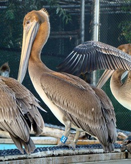 Photo of Brown Pelicans in care at International Bird Rescue