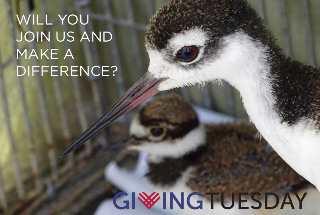 Photo of Black-necked Stilts announcing #GivingTuesday engagement at International Bird Rescue