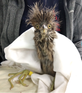 Photo of Black-crowned Night-Heron in care at International Bird Rescue