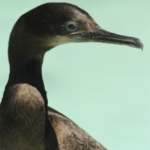 Photo of Brandt's Cormorant in care at International Bird Rescue