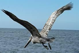 Brown Pelican in flight by Photo by Bill Steinkamp